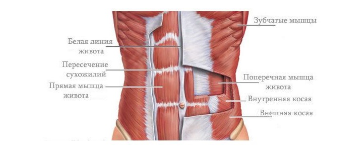 мышцы живота